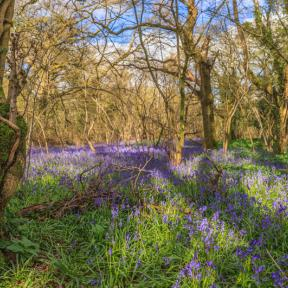 Bluebells  - Andrew Chorley AWD Photography