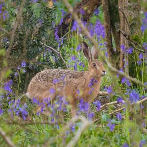 Hare in Garston Wood RSPB Nature Reserve near Sixpenny Handley - Andrew Chorley AWD Photography