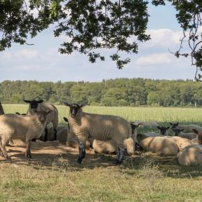 Sheep on Woodcutts Common - Andrew Chorley AWD Photography